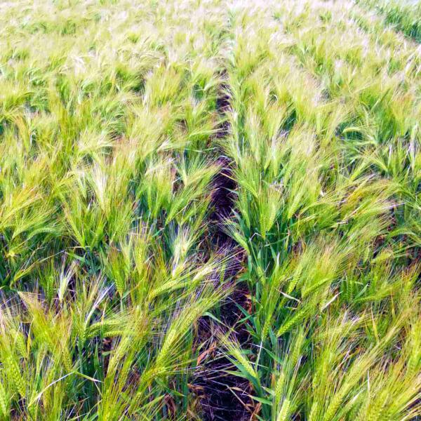ЮК Армада - 018 Посуха 2020 - порядок отримання компенсації за втрачений врожай